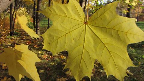 Autumn leafs 30 Stock Video Footage