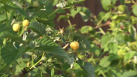 Yellow raspberry Live Action