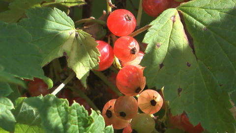 Redcurrant Footage