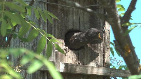 Fledgling starlings Footage