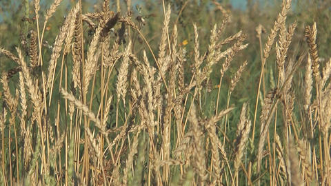 Wheat Footage