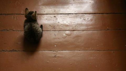 Grey kitten on a wooden floor Footage