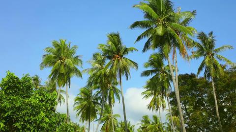 Coconut palms Footage