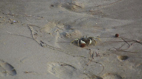 Beach Crab Footage