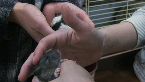 Pet Mouse stock footage
