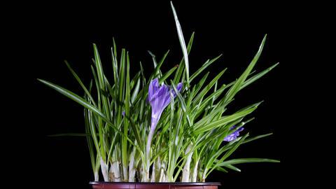 crocus flower Footage