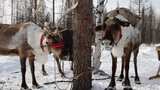 Reindeers stock footage