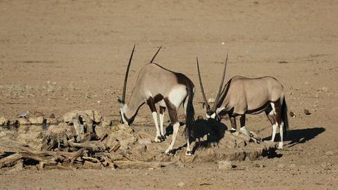 Gemsbok antelopes Footage