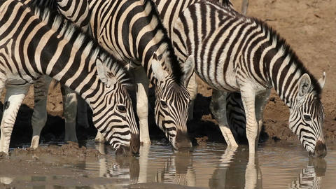 Plains Zebras drinking Footage