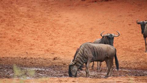 Wildebeest at waterhole Footage