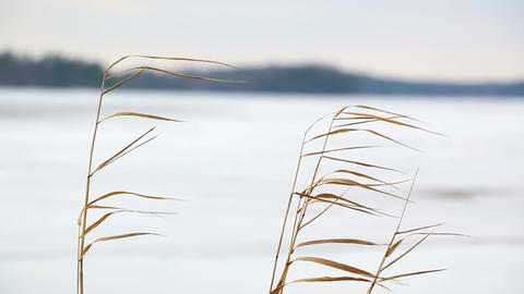 Reeds swaying in winter breeze Footage