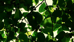 The Dense Branches Foliage Covered Sky,sunlight Th stock footage