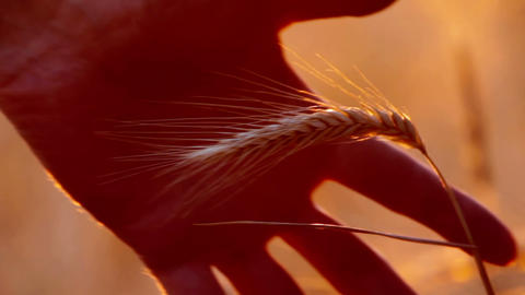 Ear Of Wheat stock footage