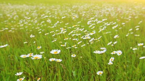 chamomile flowers Footage