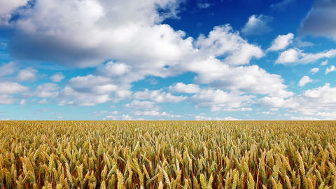 Ears Of Wheat And Cloudy Sky stock footage