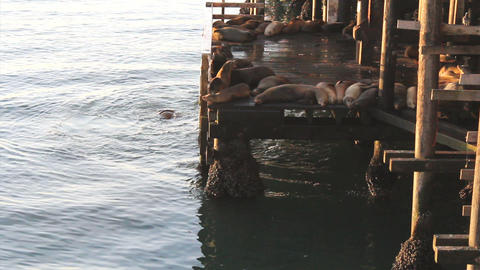 Sea Lions Barking On The Wharf In Santa Cruz stock footage