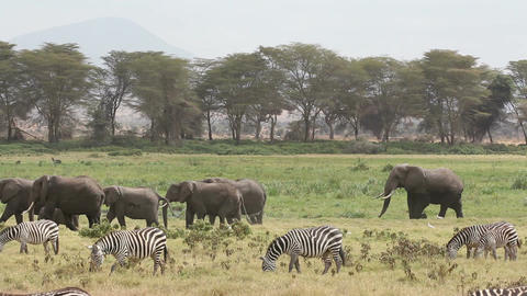 African elephants and plains zebras Footage