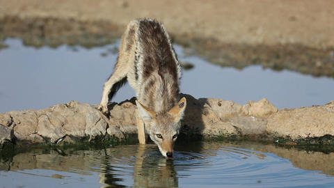 Black backed jackal Footage