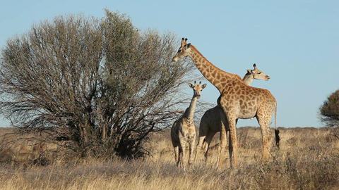 Giraffe Family stock footage