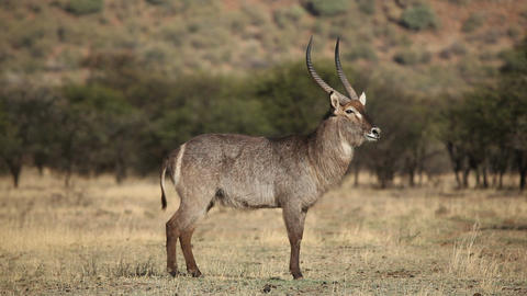 Waterbuck Bull stock footage
