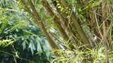 A Well Grown Cluster Of Bamboo Plants (BAMBOO--2D) stock footage