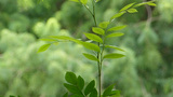 Tropical plant with green leaves. (TREE LEAVES--6D Footage