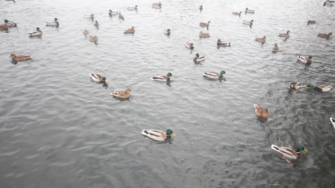 Big Congestion Of Mallard Ducks Swimming In The Sp stock footage