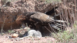 Eagle has killed a rabbit Footage