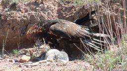 Eagle has killed a rabbit Footage