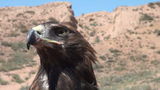 Head of golden eagle Footage