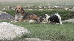 Rugged dogs in Central Asia Footage