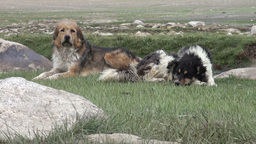 Rugged dogs in Central Asia Stock Video Footage