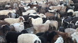 Sheep in corral in Pamir ranges Tajikistan Footage