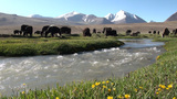 Herd of yaks in Tajikistan, river stream Footage