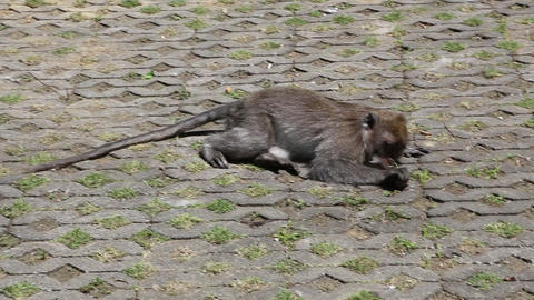 2 monkeys in ubud, bali Footage