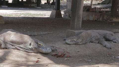 Komodo Dragons At The Komodo National Park stock footage
