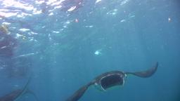 Manta ray (Manta blevirostris) swimming close to t Footage