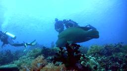 Napoleon wrasse (Cheilinus undulatus) swimming ove Footage
