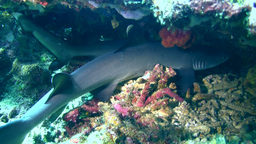 Whitetip reef shark (Triaenodon obesus) laying und Footage