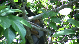 Dusky Leaf Monkey (Trachypithecus obscurus) with o Footage