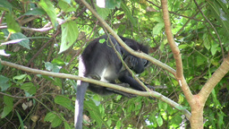 Dusky Leaf Monkey (Trachypithecus obscurus) eating Footage