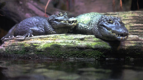 Crocodiles stock footage