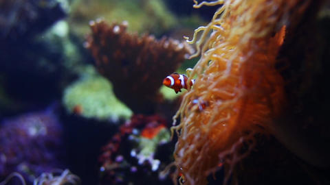 Clown Fish and Coral Footage