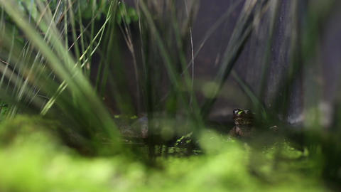 Frog jump into water Footage