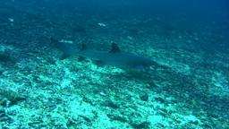 Whitetip Reef Shark (Triaenodon Obesus) Laying On  stock footage