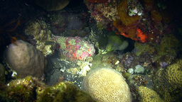 Reef stonefish (Synanceia verrucosa) with Giant mo Footage