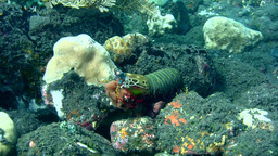 Peacock or Harlequin smashing mantis shrimp (Odont Footage