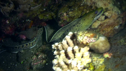 Spot-face or Fimbriated moray (Gymnothorax fimbria Footage