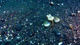 Sea moth (Pegasus) Footage