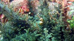 Squat anemone shrimp (Thor amboinensis) on Actinos Footage